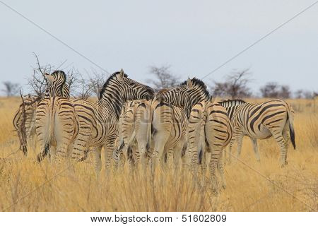 A group of Burchell's Zebra gather, with hilarious consequences.  Kissing ass is the name of the game.  Photographed in the freedom and wilds of Africa. poster