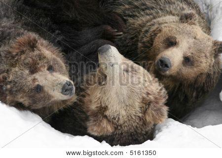 Group Of Bears