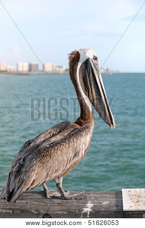 Wild Florida Pelican