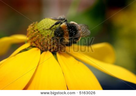 Bumble bee on yellow flower collecting nectar poster