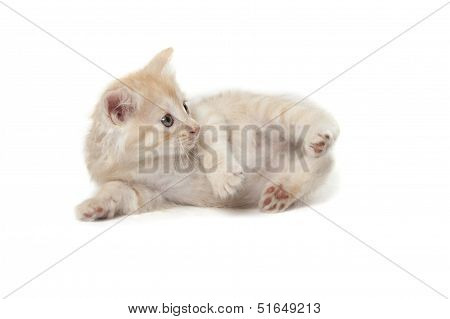 laying little kitten isolated over white background poster
