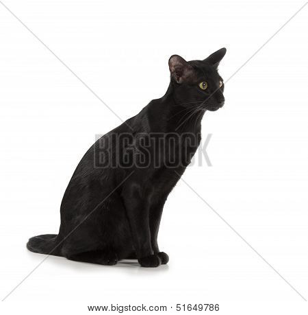 black oriental cat isolated over white background poster