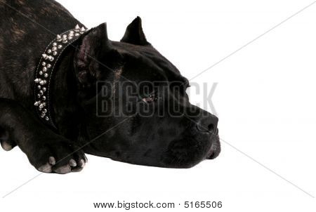 one sad looking very large black mastiff laying down headshot over white poster