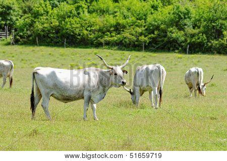 Ruminant Hungarian gray cattle bull on grass poster