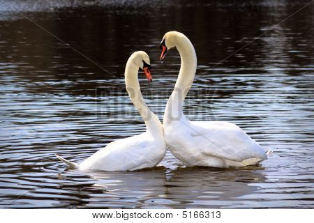 Pair of white swans on a pond. Close up. poster