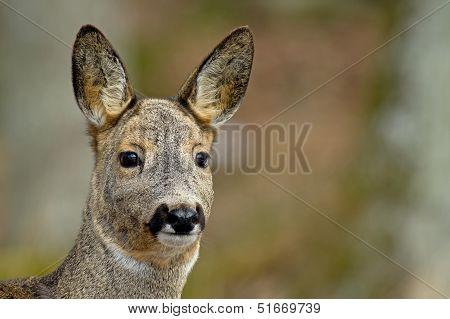 The Roe Deer (Capreolus Capreolus)