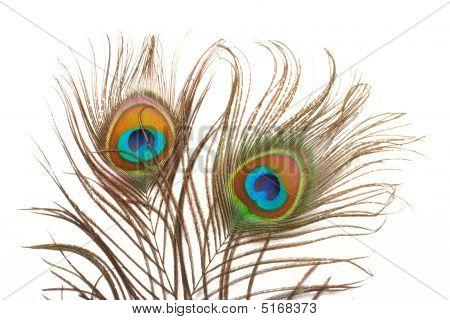 Peacock Feathesr Close Up