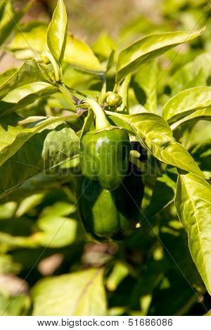Baby Bell Pepper