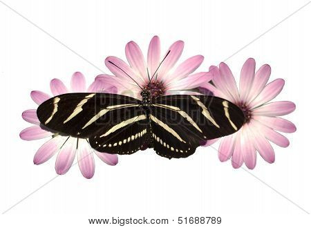 Pink Daisies Zebra Longwing Butterfly Isolated White With Clipping Path