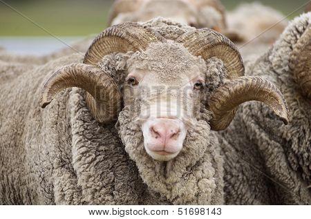 Saxon Merino Ram