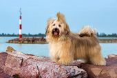Cute reddish Havanese dog is standing on some rocks near a harbor shore looking at camera poster