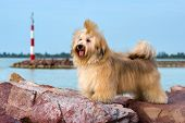Cute reddish Havanese dog is standing on some red rocks near a harbor shore looking into the distance poster
