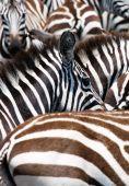 animal pattern of zebras masai mara kenya poster