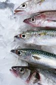 Seabass mackerel hake fish seafood over ice poster