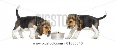 Beagle puppies around a full dog bowl, isolated on white