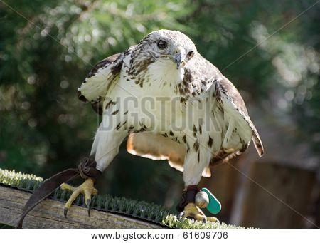 Saker Falcon (falco Cherrug) Watching Prey
