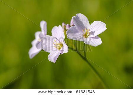 Cuckoo flower in springtime
