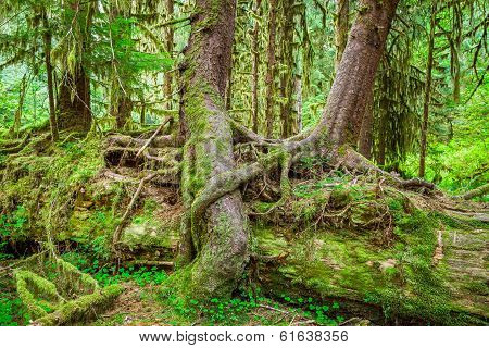 Nurse Tree In Olympic National Park