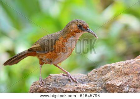 Rusty-cheeked Scimitar Babbler Bird