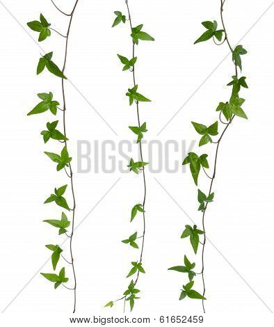 Set of straight ivy stems isolated. Green ivy (Hedera) stem isolated on white background. Creeper Ivy stem with young green leaves. poster