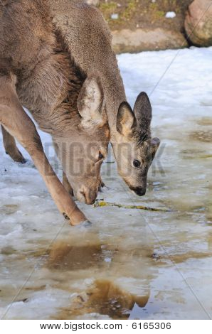 Two Roe Drink Water