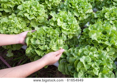 Organic hydroponic vegetable on hand in a garden