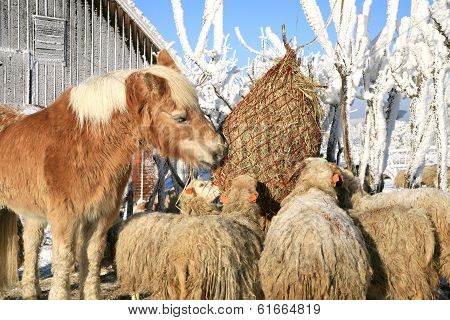 Horse and sheeps on winter farm