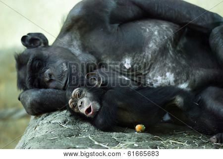 Common Chimpanzee (pan Troglodytes) With A Cub