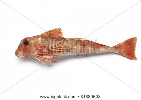 East atlantic tub gurnard on white background