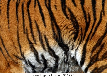 Sample Of A Tiger