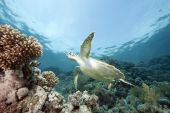juvenile green turtle taken in the red sea. poster