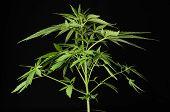 Young Green Leaf Cannabis Indica Plant Marijuana poster