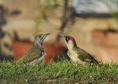 Green Woodpecker Adult and chick - Picus viridis poster