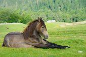 "young horse resting in ""Biogradska Gora"" National Park, Montenegro poster"