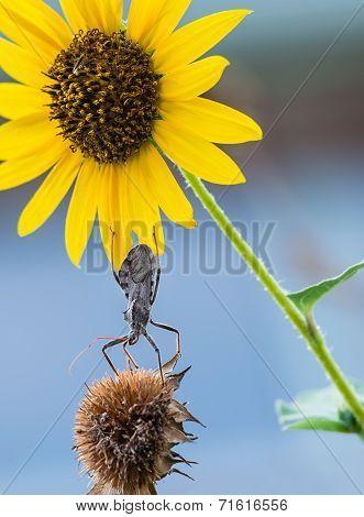 Wheel Bug (arilus Cristatus) On Sunflowers