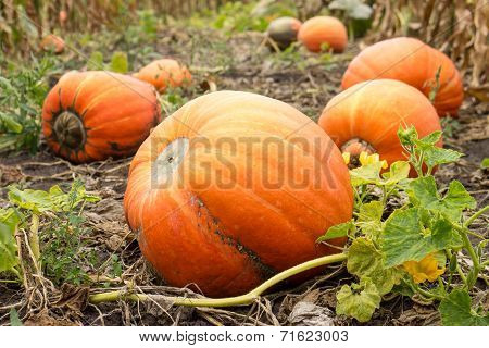 Ripe Orange Pumpkins With Vine At The Field In Autumn