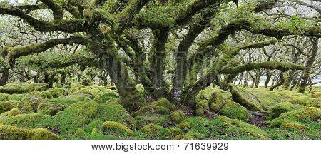 Oak Tree In Wistman's Wood