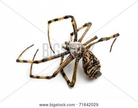 Dead Wasp spider, Argiope bruennichi,