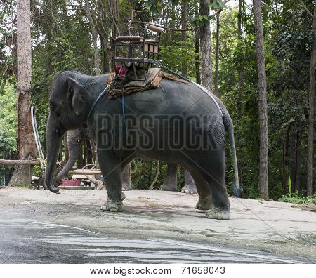 the side of asian elephant with ivory poster