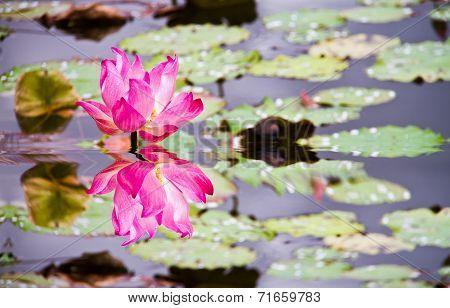 Lotus Flower And Refection On Water