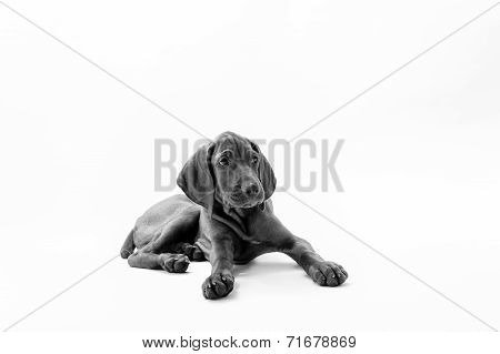 Hungarian or Magyar vizsla dog sitting