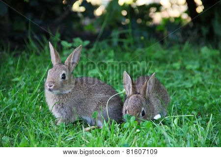 Baby Rabbits In Grass
