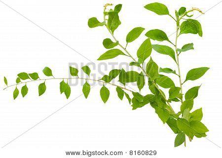 Chinese Lycium Boxthorn