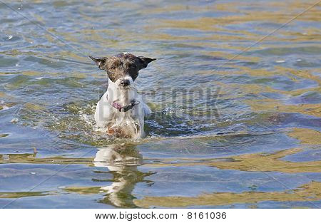 A Jack Russell Terrier Wading Through The Water