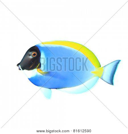Tropical fish isolated on white background: Powder blue Surgeonfish (Dory fish)