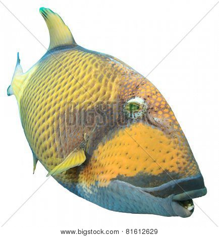 Tropical fish isolated: Titan Triggerfish poster