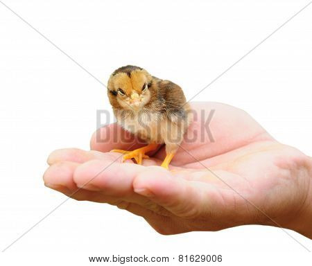 Little Chicken In Hand Isolated On White Background