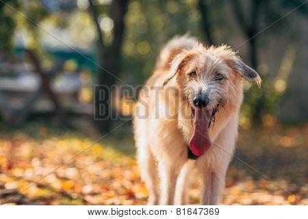 Irish Wolfhound Standing On The Grass