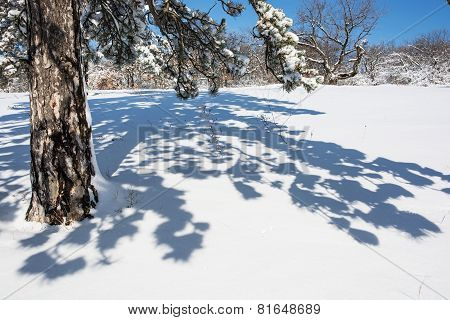 Evergreen tree and shadow in white snow. Winter nature. poster