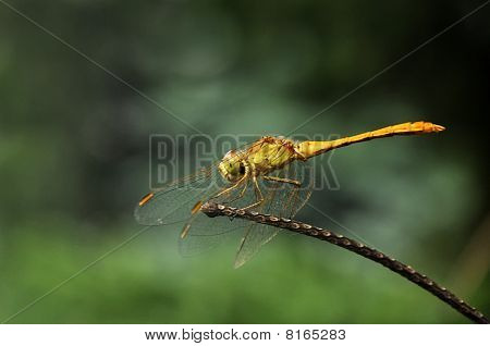 Close up image of a huge Southern darter (Sympetrum meridionale) poster